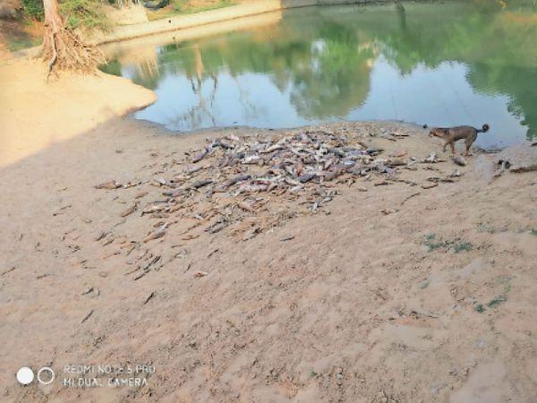 खानपुर खुर्द का तालाब जहां मछलियां मरी पड़ी। - Dainik Bhaskar