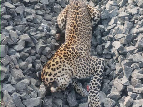 6 बाघ, 7 तेंदुए, 4 भालू और 1 मगरमच्छइनकी हुई मौत। - Dainik Bhaskar