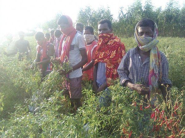 दक्षिण बस्तर के सुकमा, बीजापुर और दंतेवाड़ा जिलों के लगभग 40 हजार से ज्यादा ग्रामीण मजदूरी के लिए मिर्ची तोड़ने आंध्र प्रदेश जाते हैं।