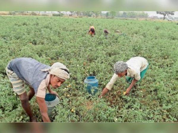 खेतों से टमाटर तोड़ते किसान। - Dainik Bhaskar