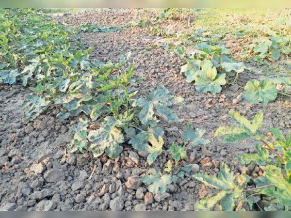 बारिश के बाद सब्जी के खेतों में लौटी हरियाली। - Dainik Bhaskar