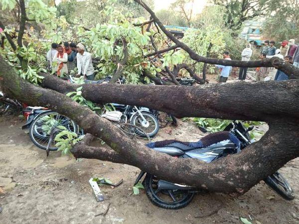सतना के उचेहरा कस्बे में वेयर हाउस के अंदर लगा पेड़ आंधी और बारिश से गिर गया। इसके नीचे बाइक और साइकिल दबकर क्षतिग्रस्त हो गईँ।