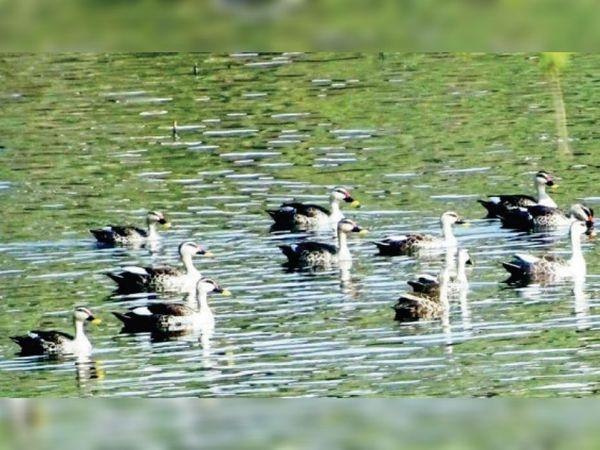 बहादुरसागर तालाब में प्रवासी पक्षी गर्मपायी। - Dainik Bhaskar