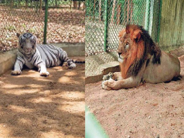 भगवान बिरसा मुंडा जैविक उद्यान में अकेले बाघ और शेर - Dainik Bhaskar