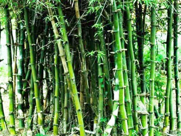 बांस के पेड़ से बने बैट विलो के मुकाबले ज्यादा भारी होते हैं। हालांकि, उनमें शॉट क्वालिटी विलो से बेहतर है।