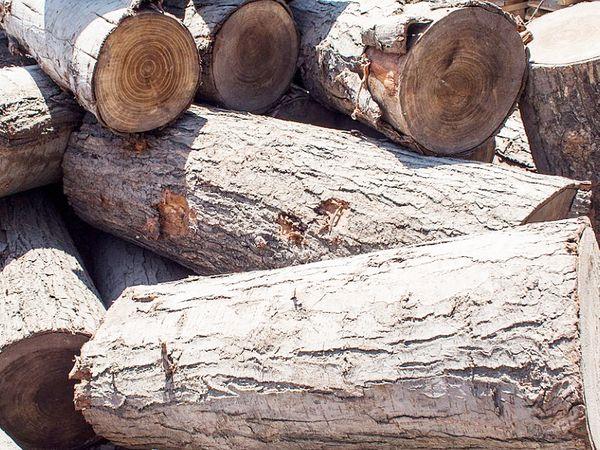 ये कश्मीरी विलो की लकड़ी है। कई देशों में इसी से बने बल्ले का इस्तेमाल किया जाता है।