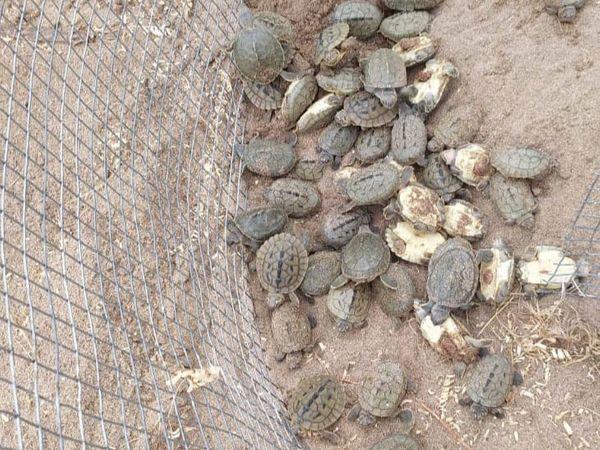 600 कछुए निकल कर सुरक्षित बाहर आ गए हैं।