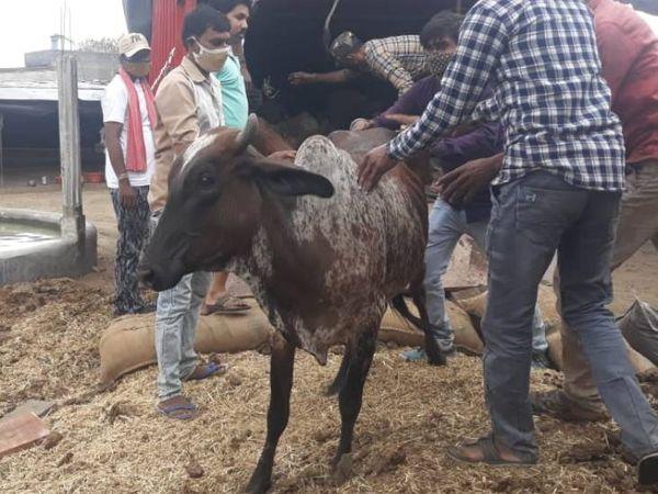 गायों को गौशाला भिजवा दिया गया।