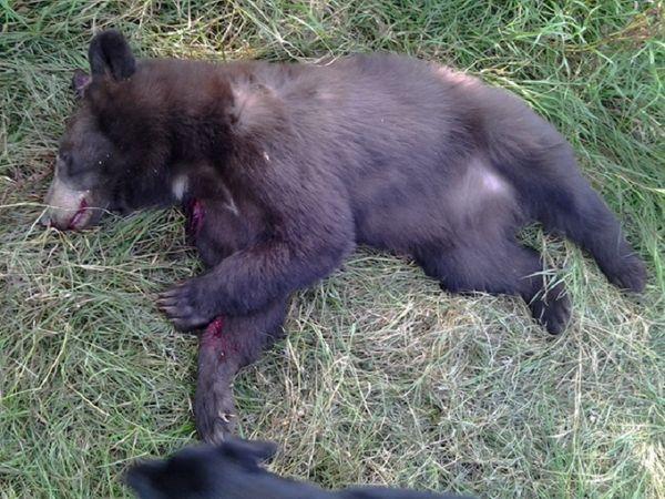 साल 2014 की घटना के बाद दावा किया गया था कि गोली नहीं मारते तो भालू और जानें लेता। -सिंबॉलिक फोटो।