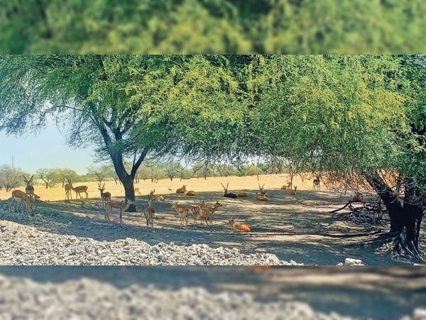 तालछापर अभयारण्य में काले हिरणों ने पेड़ों के नीचे ली पनाह। - Dainik Bhaskar