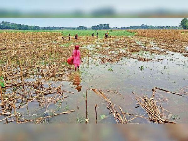 लक्ष्मीनियां में खेत में जमे पानी में डूबी मक्के और मूंग की फसल। - Dainik Bhaskar