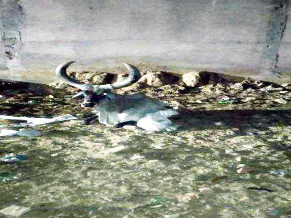 रेवाड़ी के सेक्टर-3 में खाली प्लॉट में नवजात बछड़े के साथ गाय, जिसकी जानकारी रात 12 बजे के करीब उपायुक्त को मिली थी। - Dainik Bhaskar