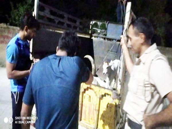 उपायुक्त के आदेश पर गाय और बछड़े को गाड़ी में चढ़ाकर गोशाला ले जाते नगर परिषद और पुलिस प्रशासन की टीम।