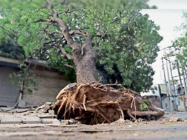 फेज-7 चावला लाइट पॉइंट पर विशाल पेड़ गिर गया। - Dainik Bhaskar
