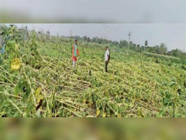 आंधी-बारिश से बर्बाद सूर्यमुखी फूल का खेत देखता किसान। - Dainik Bhaskar
