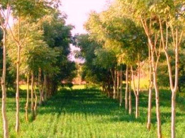 सरकार की इस योजना के दोहरे उद्देश्य हैं। पहला कि वह धान के अति उत्पादन को हतोत्साहित करना चाहती है। दूसरा, निजी क्षेत्र में इमारती लकड़ियों के जंगल उग आने से अधिकांश औद्योगिक जरूरतों के लिए वनों की कुर्बानी से बचा जा सकेगा। - Dainik Bhaskar
