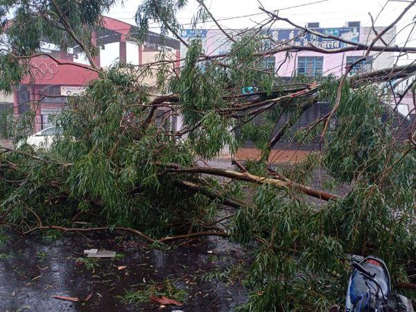 छिंदवाड़ा में स्टेडियम के सामने गिरा पेड़ - Dainik Bhaskar
