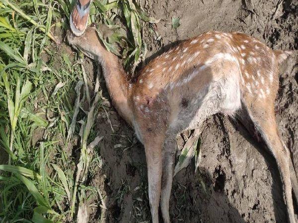 प्रत्यदर्शियों के मुताबिक हिरण के शरीर में गोली लगने का निशान था। - Dainik Bhaskar
