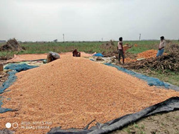 यास चक्रवाती तूफान के असर से हुई बारिश से खेतों में भींगी मक्के की फसल को बचाने की जुगत में जुटे किसान। - Dainik Bhaskar