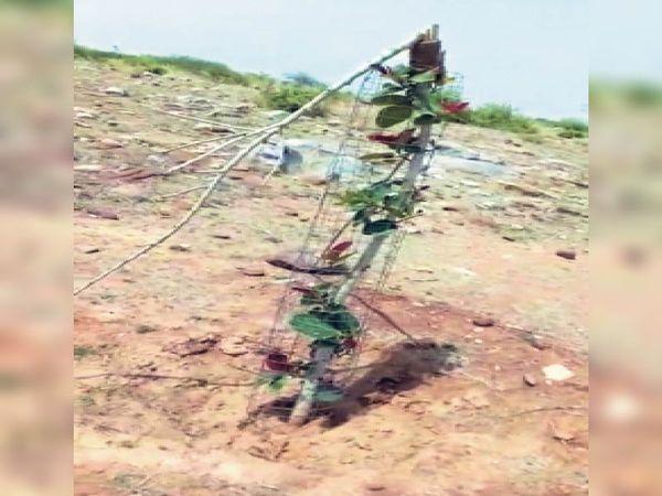 सामोद | मालागिरी पहाड़ी पर तोड़ा गया पेड़। - Dainik Bhaskar
