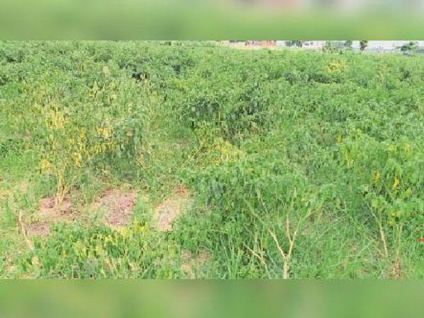 बरारी में बारिश से बर्बाद हुई मिर्च व मनसाही में बर्बाद हुआ गोभी का पौधा। - Dainik Bhaskar