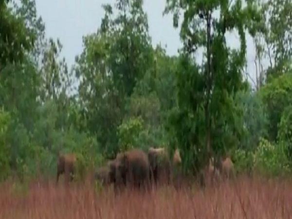 बालोद जिले के जंगलों में हाथियों का दल भ्रमण करते हुए।