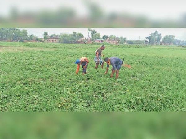 नीमनवादा गांव में बारिश के बाद बचे नेनुआ को तोड़ते किसान। - Dainik Bhaskar