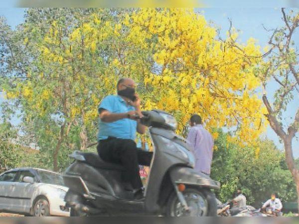 कैथल  जिला सचिवालय में अमलतास के पेड़ पर खिले फूल। - Dainik Bhaskar