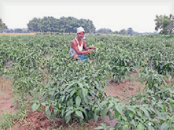 मिर्ची की फसल को दिखलाते किसान सुरेश ठाकुर। - Dainik Bhaskar