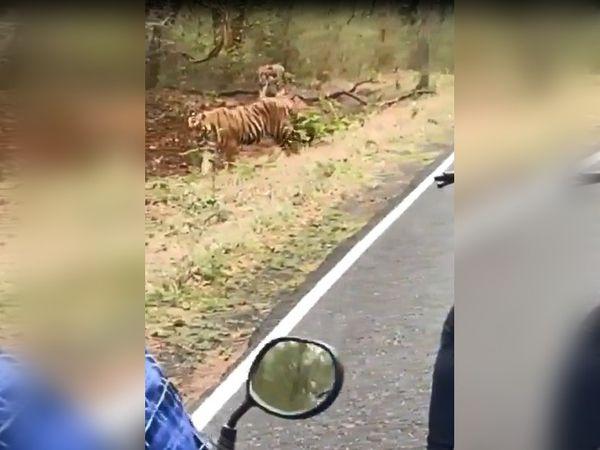 बाघ मौके पर मौजूद सभी लोगों के काफी करीब तक पहुंच गया था। हालांकि, उसने किसी को नुकसान नहीं पहुंचाया।