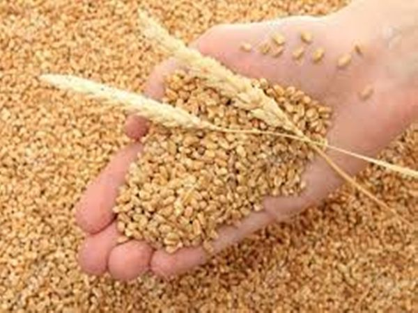गेहूं की बंपर पैदावार: कोविड-19 के बावजूद ज्यादा हुआ गेहूं का उत्पादन, एजेंसियों ने इस वर्ष 20784 मीट्रिक टन अधिक की खरीदा 15