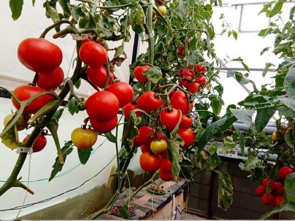 अभय और उनकी टीम सीजन के हिसाब से डेली यूज की हर सब्जियां उगाती हैं और फिर मार्केट में सप्लाई करती हैं।