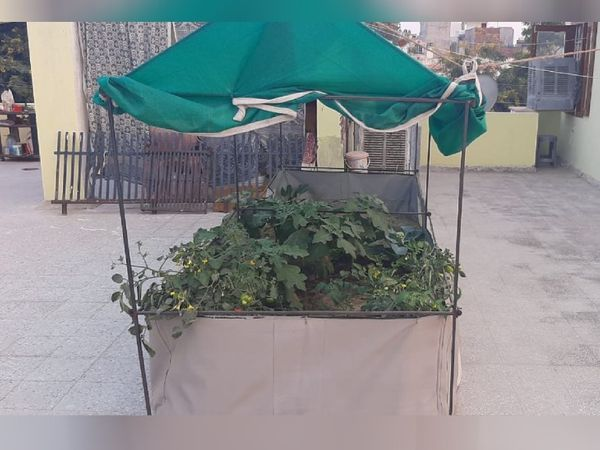 तस्वीर टेरेस गार्डनिंग की है। इसमें घर की छत या फर्श पर बैग में मिट्टी और खाद डालकर प्लांटिंग की जाती है।
