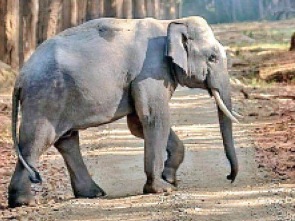 गांव के भीतर हाथीी। - Dainik Bhaskar