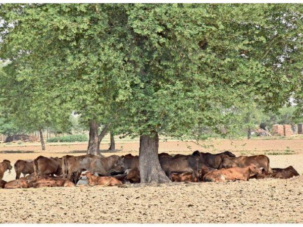 हिसार. शनिवार काे विश्व पर्यावरण दिवस मनाया गया। मनुष्य के लिए ही नहीं बल्कि अन्य जीव जंतुओं के लिए भी पेड़ अति आवश्यक हैं। शहर से दूर गांधी नगर गांव के कैमरी राेड पर भरी दुपहरी में एक पेड़ की छांव का अासरा लिए गायाें का झुंड। फोटो: रॉकी कुमार - Dainik Bhaskar