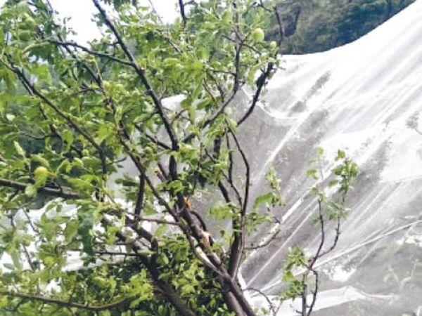 आनी में हुई ओलावृष्टि से सेब की फसल को पहुंचा नुकसान - Dainik Bhaskar