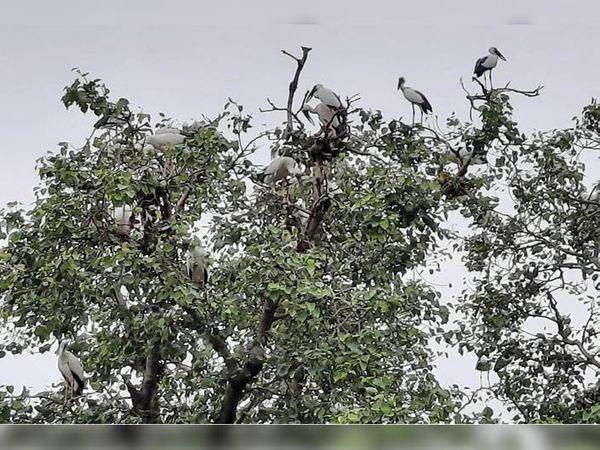 पेड़ पर बैठे साबेरियन पक्षी। - Dainik Bhaskar