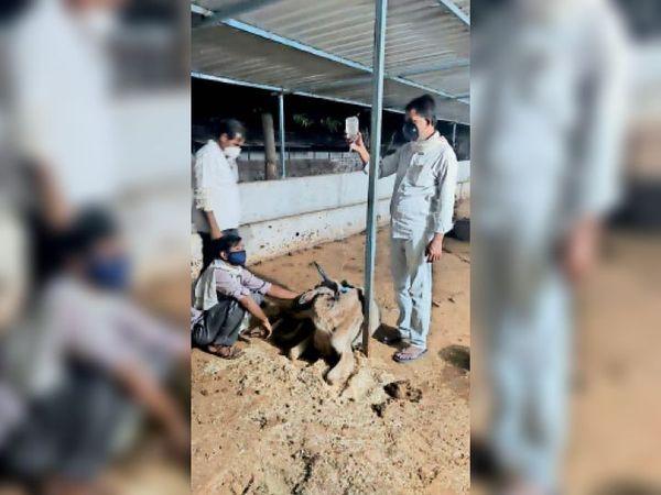 सिवनीमालवा: गोशाला में बीमार गाय का इलाज करते डॉक्टर। - Dainik Bhaskar