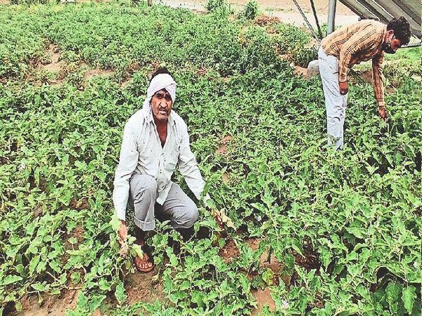 मंडावा. खेत में लहराती सब्जी के बीच बाबूलाल व परिजन। - Dainik Bhaskar