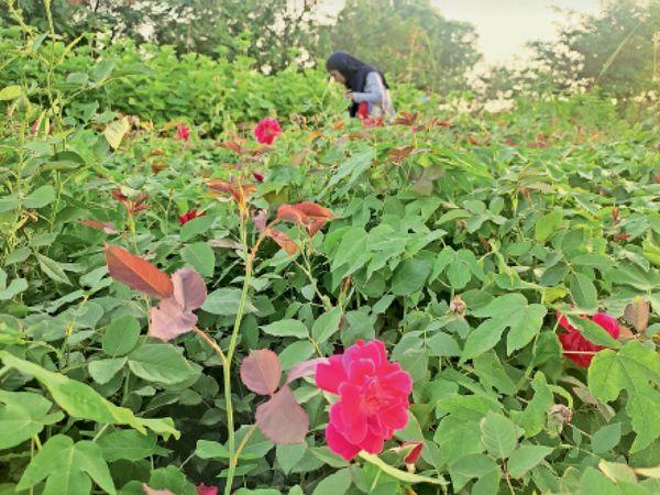 नानी नर्सरी में तैयार किए गए पौधे। - Dainik Bhaskar