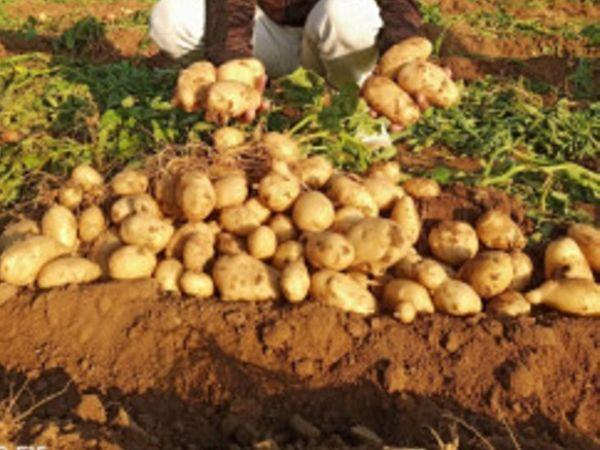एक ही पौध से कई पौध तैयार होंगी, प्रदेशभर के किसानों को मिलेगा लाभ। - Dainik Bhaskar