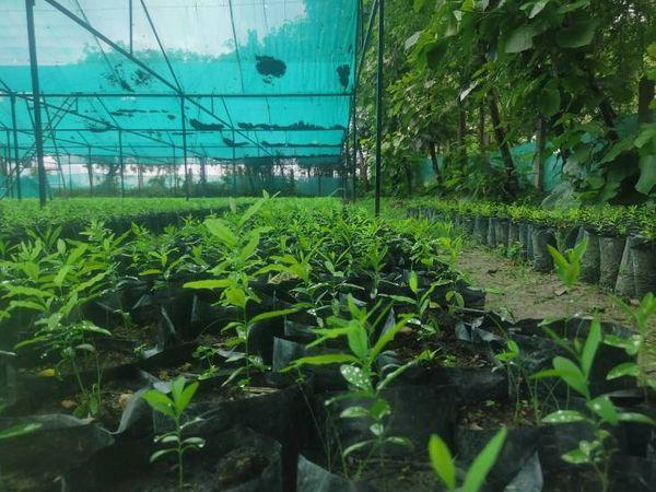 उत्कृष्ट ने चंदन की नर्सरी तैयार करने से पहले दक्षिण भारत के कई प्रगतिशील किसानों से इसकी ट्रेनिंग ली है। - Dainik Bhaskar