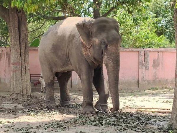 वाराणसी के वन्य जीव संस्थान में जंजीरों में जकड़कर हाथी को रखा गया था।