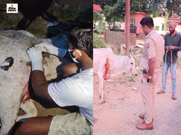 चौकी इंचार्ज ने मानवता की मिसाल पेश करते हुए पहले तो तत्काल पशु चिकित्सक को बुलवाया और घायल गाय का इलाज कराया। - Dainik Bhaskar