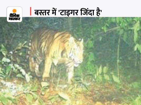 इंद्रावती टाइगर रिजर्व (ITR) में पिछले डेढ़ सालों में अलग-अलग लोकेशन में 5 टाइगर की तस्वीर कैमरे में कैद हुई है। - Money Bhaskar