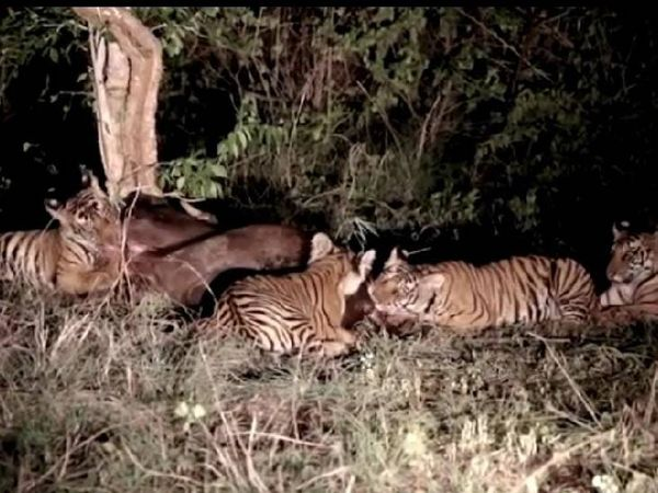 दो दिन पहले शिकार करते बाघ शावक।