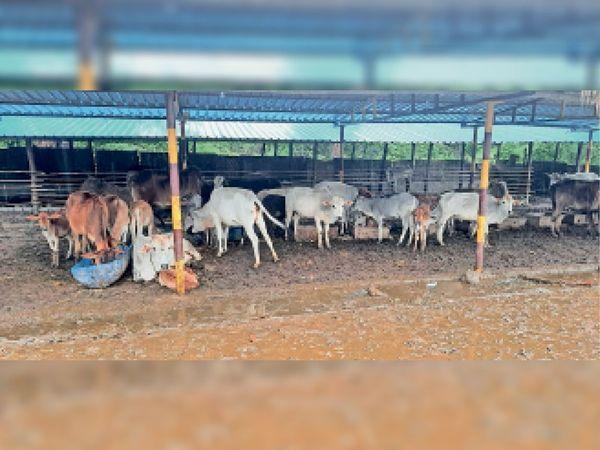 बारिश के कारण गौठान के अंदर कीचड़ होने से दिनभर खड़े रहते हैं मवेशी। - Money Bhaskar