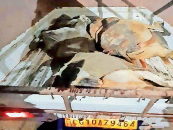 मृत गायों को निजी वाहन में भरकर थाना लाया। - Money Bhaskar