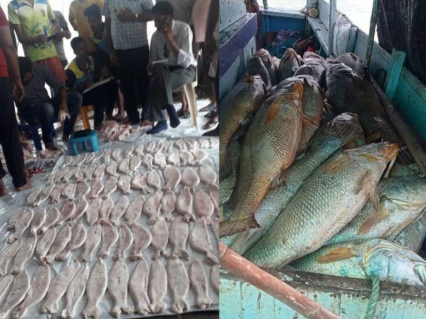 घोल मछली का इस्तेमाल दवाइयां और टांके लगाने में इस्तेमाल होने वाले धागे बनाने में होता है।
