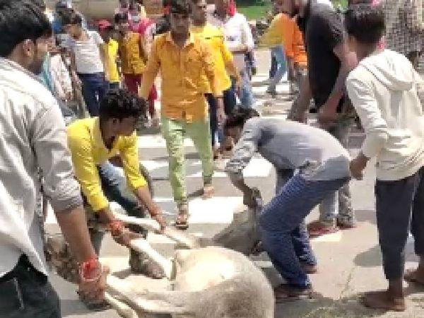सड़क से मृत गाय को उठाते गौसेवक। - Money Bhaskar